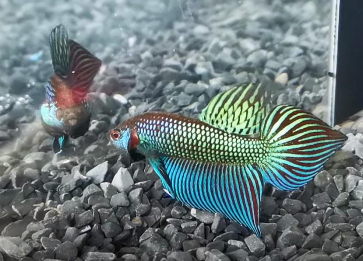 W012 - Betta mahachaiensis Pair