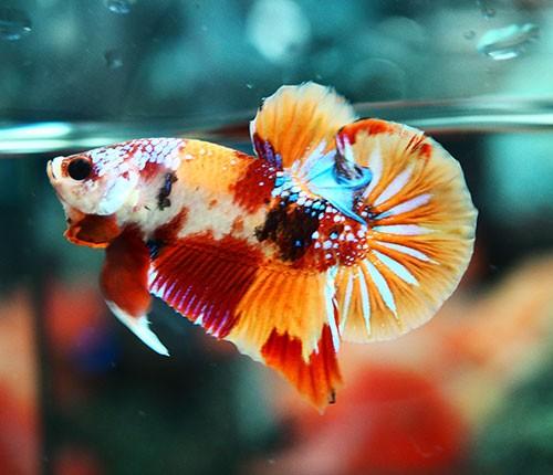 B361 - Koi Nemo Plakat Paar