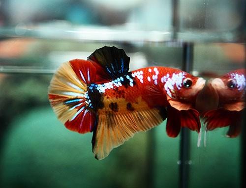 B364 - Koi Nemo Plakat Paar