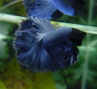 B020 - Blue Halfmoon Paar