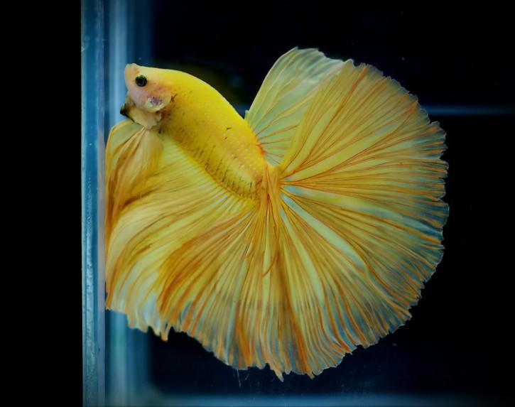 A034 - Yellow Halfmoon Paar