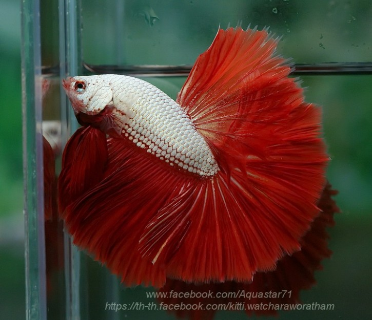 A045 - Red Dragon Halfmoon Paar