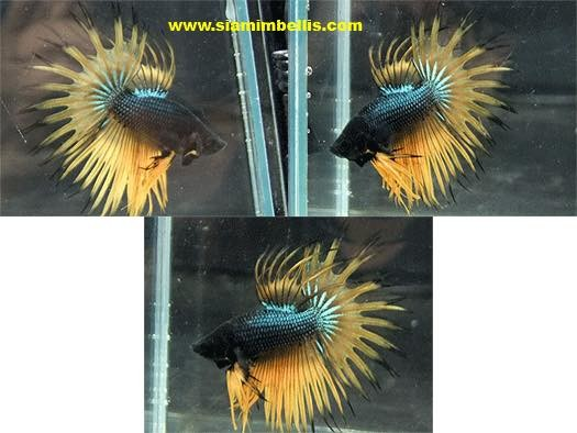 S238 - Dark Mustard Gas Crowntail Paar