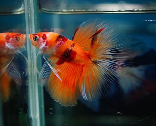 B050 - Koi Nemo Halfmoon Paar
