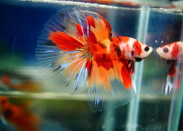 B053 - Koi Nemo Halfmoon Paar