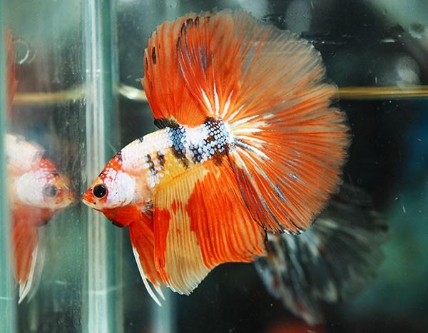 B055 - Koi Nemo Halfmoon Paar