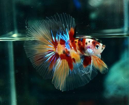 B058 - Koi Nemo Halfmoon Paar