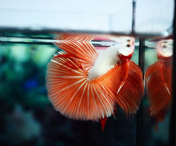 B059 - Orange Dragon Halfmoon Paar