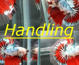 Handling Betta Indonesia