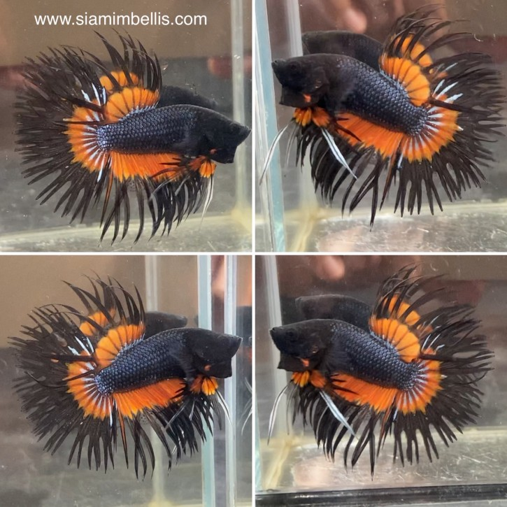 S240 - Orange Black Crowntail Paar