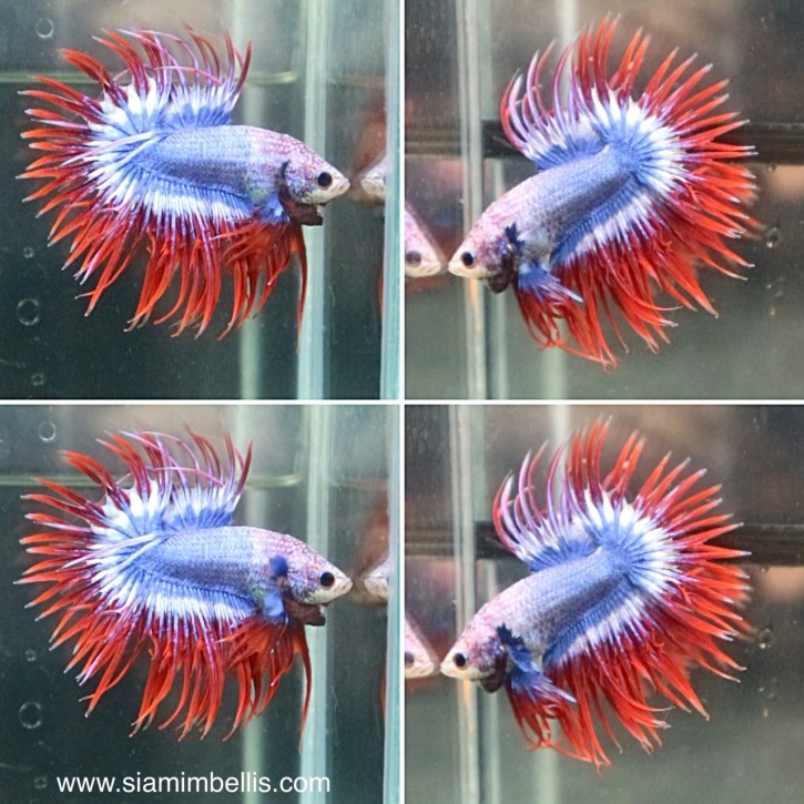 S242 - Pastel Red Crowntail Paar