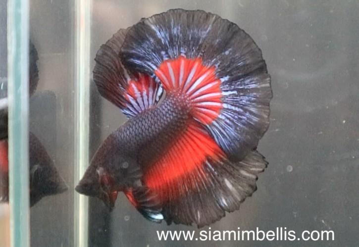 S080 - Copper Black Red Halfmoon Paar