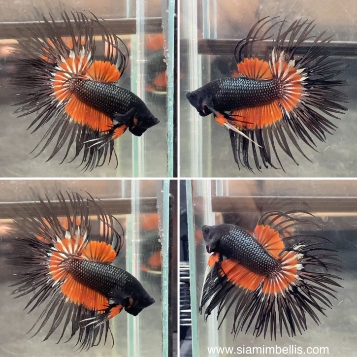 S243 - Orange Black Crowntail Paar