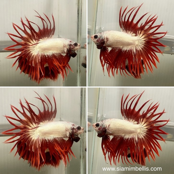 S246 - Red Dragon Crowntail Paar