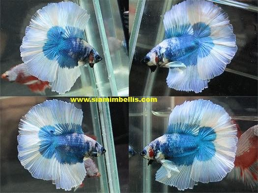 S132 - Marble Blue Butterfly Doubletail Paar