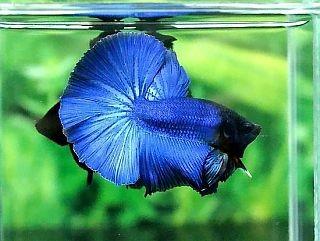 A005 - Blue Halfmoon Paar