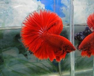 B016 - Red Halfmoon Paar