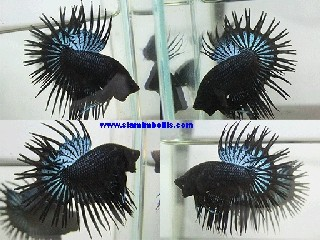 S201 - Black Orchid Crowntail Paar
