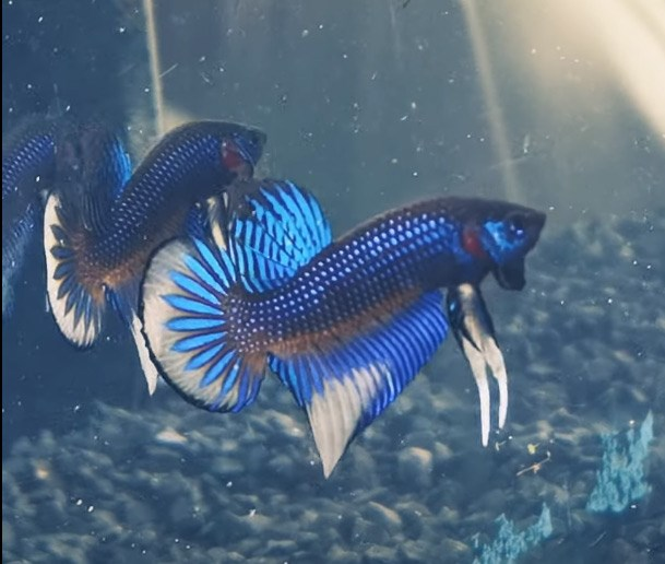 Wildbetta Highbreed