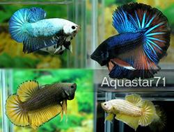 Aquastar71