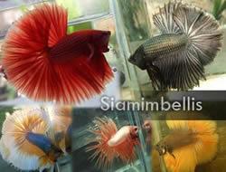 Siamimbellis