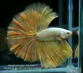 A037 - Yellow Dragon Halfmoon Paar