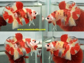 S361 - Nemo Plakat or Candy Koi Plakat Paar